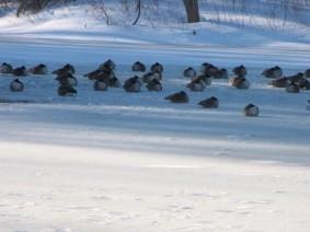 chilly birds
