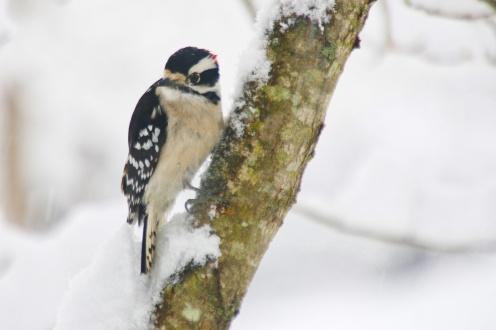 Down woodpecker