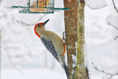 Redbelly Woodpecker