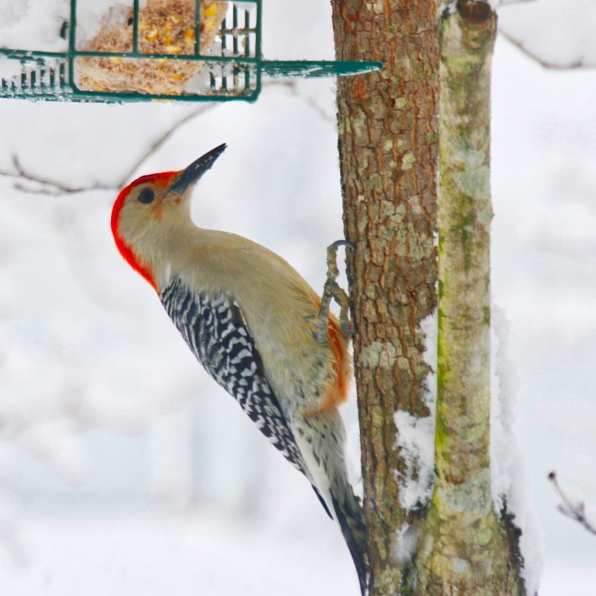 Redbelly Woodpecker